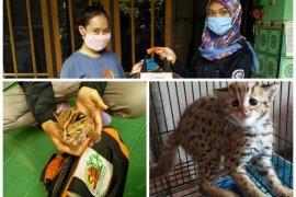 Warga Kediri temukan anak kucing hutan terlepas dari induknya