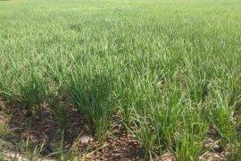 Ratusan hektare tanaman padi terancam kekeringan di Lebak