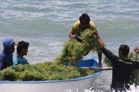 KKP latih petani olah rumput laut jadi mi dan jus