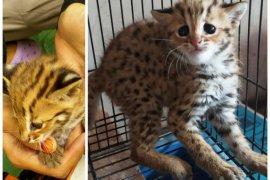 BKSDA kirim kucing hutan temuan warga ke penampungan sementara