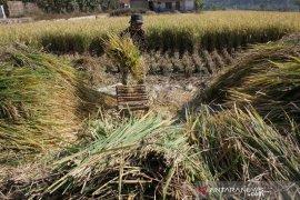 Garut targetkan surplus beras 57 ribu ton