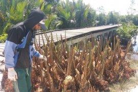BRG gandeng masyarakat kembangkan perkebunan sagu lahan gambut