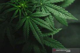 Ganja dalam pusaran tanaman obat