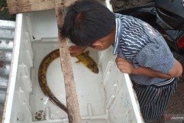 Pemancing  di Sungai Batang Antokan Agam mendapat ikan sidat langka