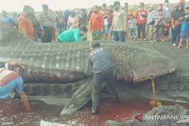 Hiu paus sepanjang 9 meter ditemukan mati terdampar di Pantai Paseban Jember