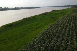 "Jagung dan padi tumbuh subur di ""sawah iklim"" di bantaran Sungai Batanghari"