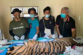 Terjerat, seekor harimau sumatera ditemukan mati