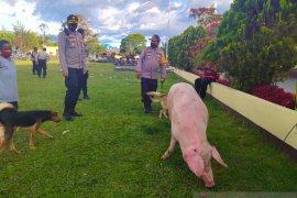 Perang tradisional di Jayawijaya  berakhir setelah pembayaran denda adat