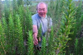 Budi daya tanaman rosemary  di kaki Gunung Kerinci