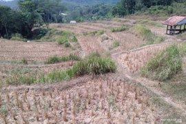1.000 hektare sawah di Karawang terancam kekeringan