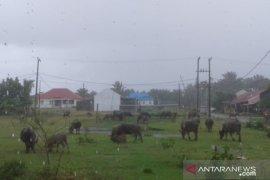 Satpol PP Mukomuko usulkan senjata untuk membius ternak liar