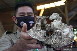 BKSDA lakukan identifikasi temuan tengkorak diduga harimau jawa di Kota Malang