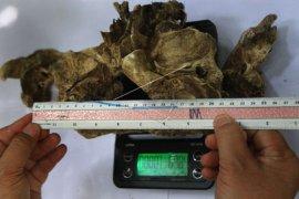 Temuan Tulang Diduga Tengkorak Harimau Jawa