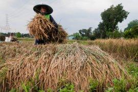 Petani Lebak kembali panen padi ditengah kemarau