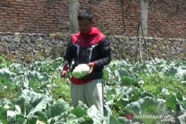 Petani kubis di Magetan rugi akibat harga turun saat panen