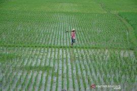 Lahan padi seluas 800 hektare di Bekasi terancam kekeringan
