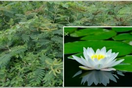 HSU suggests farmers to plant lotus to kill weeds