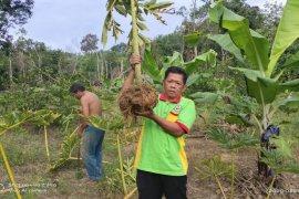 Pemkab Balangan dukung petani kembangkan ubi porang