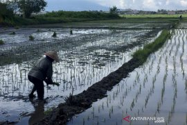 Jokowi inspects rice planting, harvesting processes in Malang District