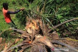 Gajah obrak-abrik 4 Hektare kebun kelapa sawit milk petani di Aceh Barat