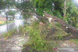 Pohon tumbang akibat angin kencang di beberapa wilayah Aceh