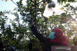 Berkah jambu kristal bagi petani Bojonegoro