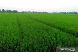 "Presiden Jokowi ungkap rencana perluasan ""food estate"" ke Papua, NTT, Sumsel"