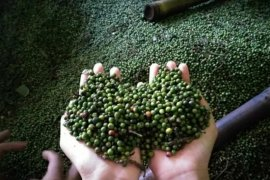 Harga lada di kisaran Rp50.000 per kilogram