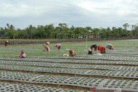 ISMI kembangkan budidaya tanaman bawang merah di Aceh Barat