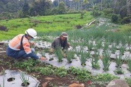 Kebun Bawang Daun binaan PT SMGP di Desa Hutajulu