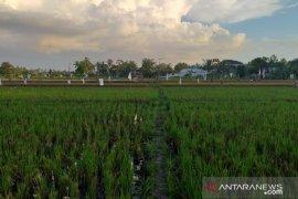Pemkab Belitung targetkan 100 hektare sawah masuk asuransi tani