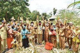 Pemkab Bener Meriah panen perdana jagung pipil program ketahanan pangan COVID -19