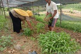 Kelompok tani Karang Jaya wujudkan ketahanan pangan ditengah pandemi COVID-19