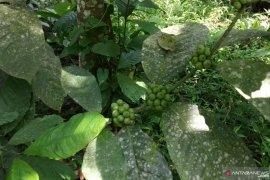 Petani Tabek Patah mulai tinggalkan tanaman kopi