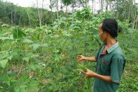Suroso (36)  pilih banting stir dari kebun karet ke budidaya sayuran