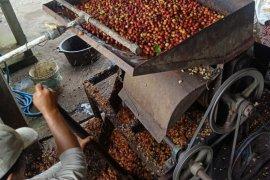 Warga desa Landih Bangli-Bali kelola Kopi Arabika Langkan