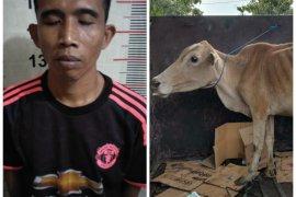 Polsek Padang Tualang  tangkap pencuri lembu