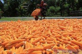 Pemkab Nagan Raya bantu penanaman 658 Ha jagung untuk petani, terbanyak di Darul Makmur