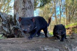Pelepasan Tasmanian devil ke alam liar Australia setelah 3.000 tahun