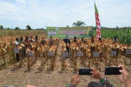 Dukung ketahanan pangan nasional di tengah COVID-19, Aceh Timur panen 50 hektar jagung