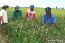Ulat penggerek batang serang puluhan hektare sawah di Kabupaten Penajam
