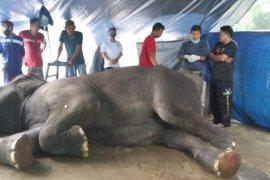 Tetanus diduga jadi penyebab kematian Yanti, gajah di Taman Rimba Jambi
