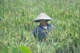 Bulog diminta tampung beras hasil penen petani Lebak