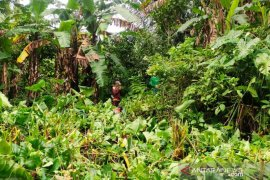 BUMDes di Rejang Lebong kembangkan perkebunan pisang