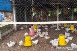 DKPP Belitung ajak peternak jaga kebersihan kandang antisipasi penyakit