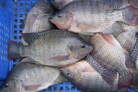 KKP kembangkan komoditas unggulan ikan nila srikandi