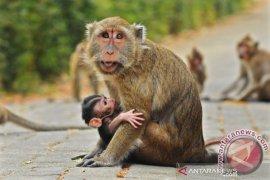Polisi pastikan video viral sejumlah monyet ditemukan mati di Pidie hoaks