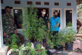 BNN Tasikmalaya ungkap tanaman ganja di kebun rumah warga