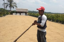 Pendapatan ekonomi petani Banten Selatan meningkat setelah gabah ditampung Bulog
