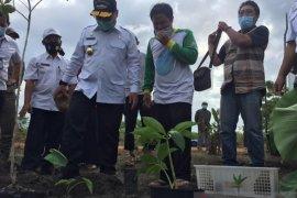 Petani Bangka Tengah budidayakan tanaman porang